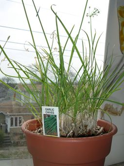 garlic and chive plant on the windowsill