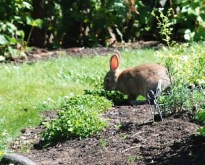 How to Get Rid of Rabbits in the Garden