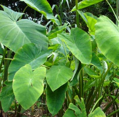 Soil sun requirements for taro